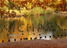 Fall Coots - PAM135