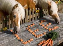Horses Eating Carrots - PAM323